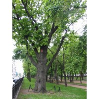 Дерево, Москва (Россия)