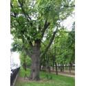 Дерево, Москва (Russia)