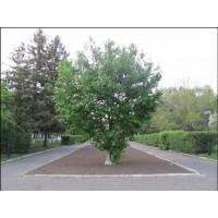 Дерево, Амурская область (Russia)